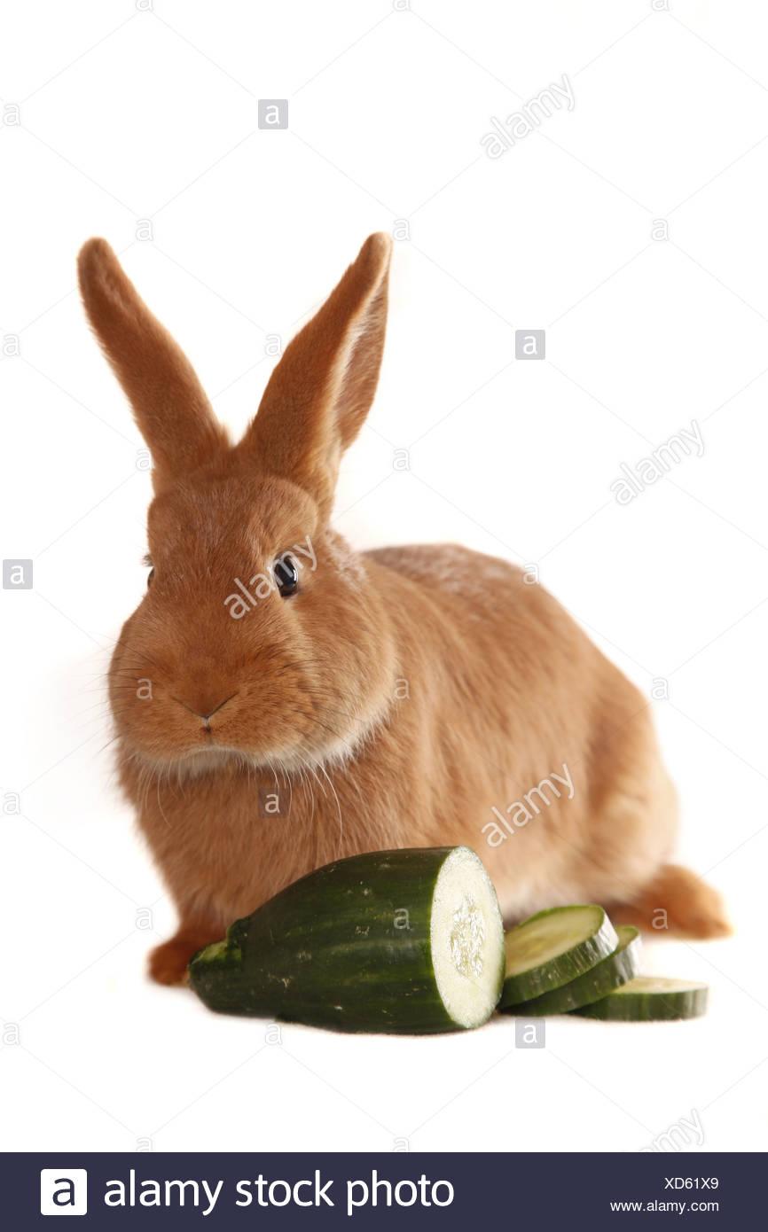 Neuseeländer / rabbit Stock Photo