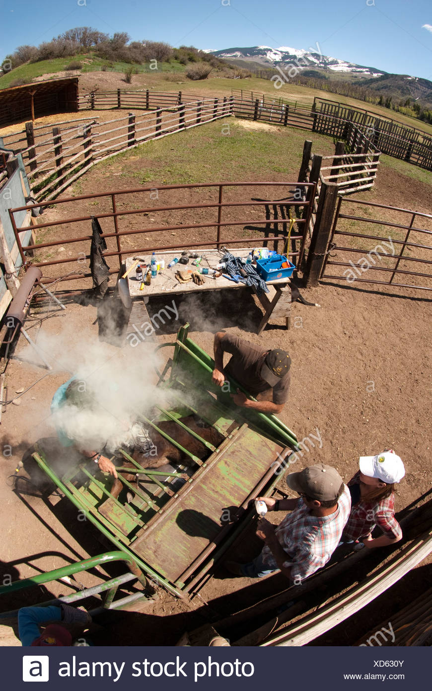 Fish eye view of a calf being branded at a Colorado ranch. - Stock Image