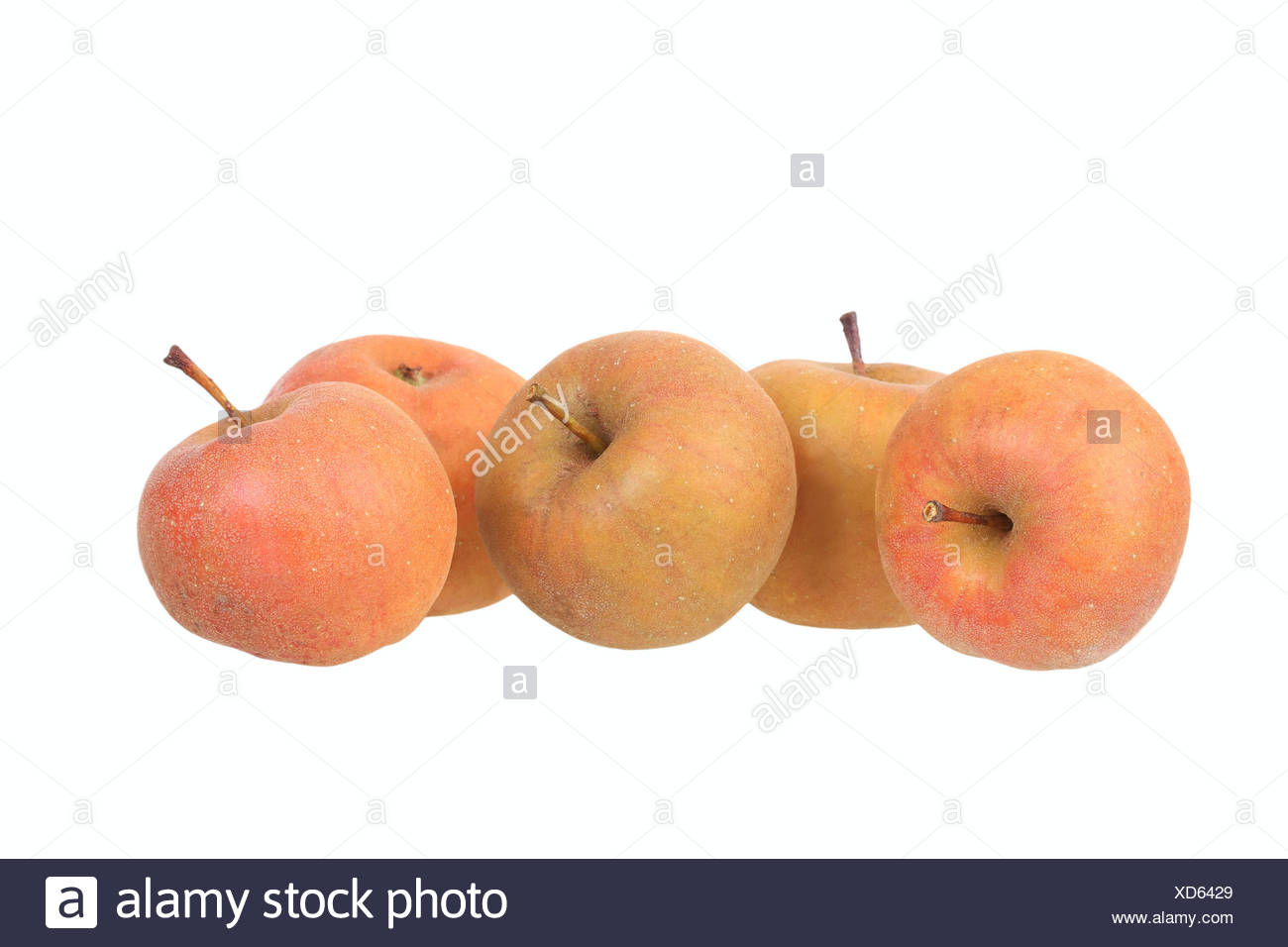 Apples, Carputin variety, traditional sort for producing cider - Stock Image