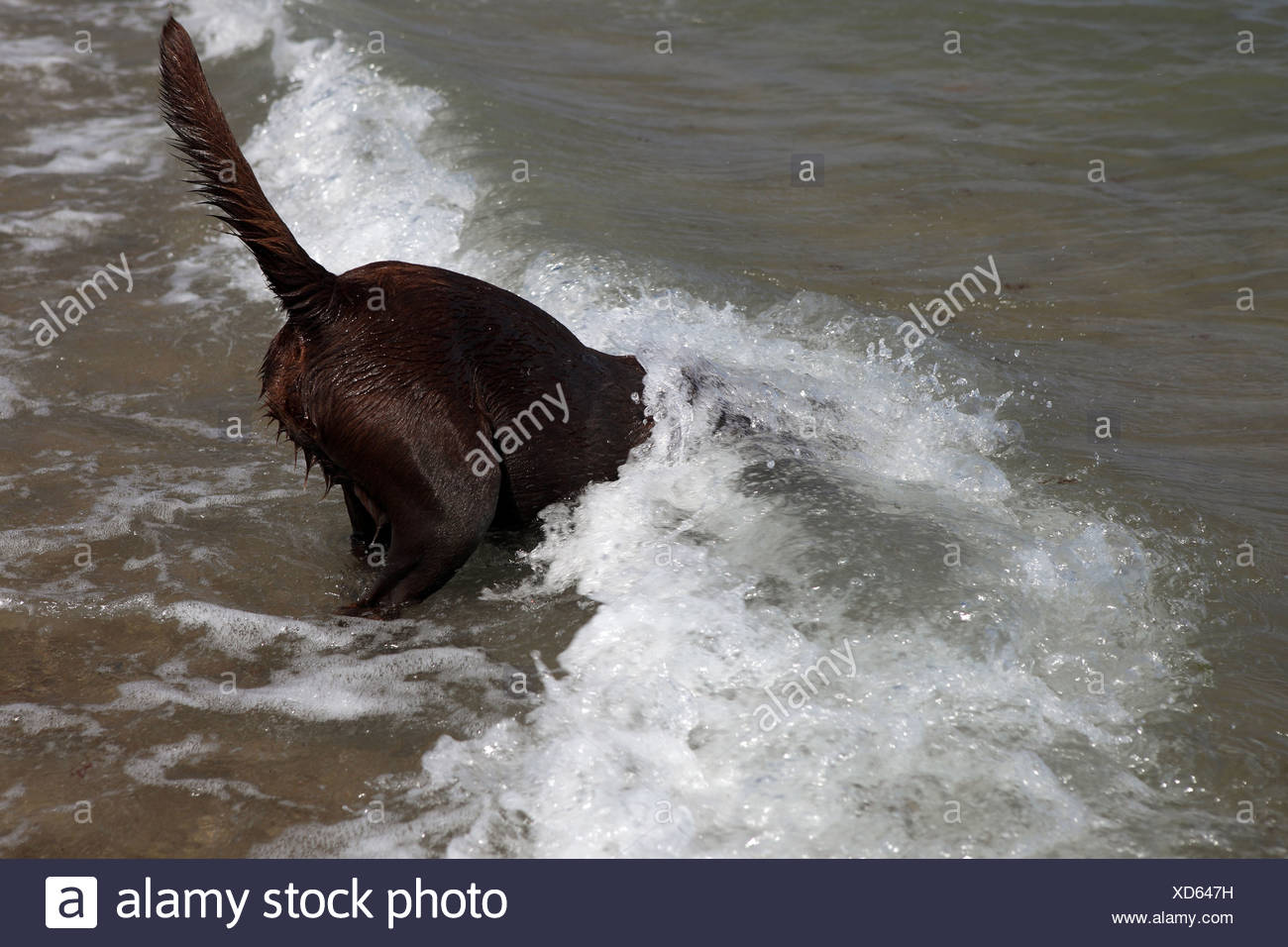 Kägsdorf, Germany, the dog is recorded on the beach by a wave - Stock Image