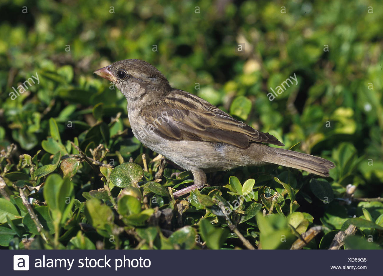 passer domesticus / house sparrow - Stock Image
