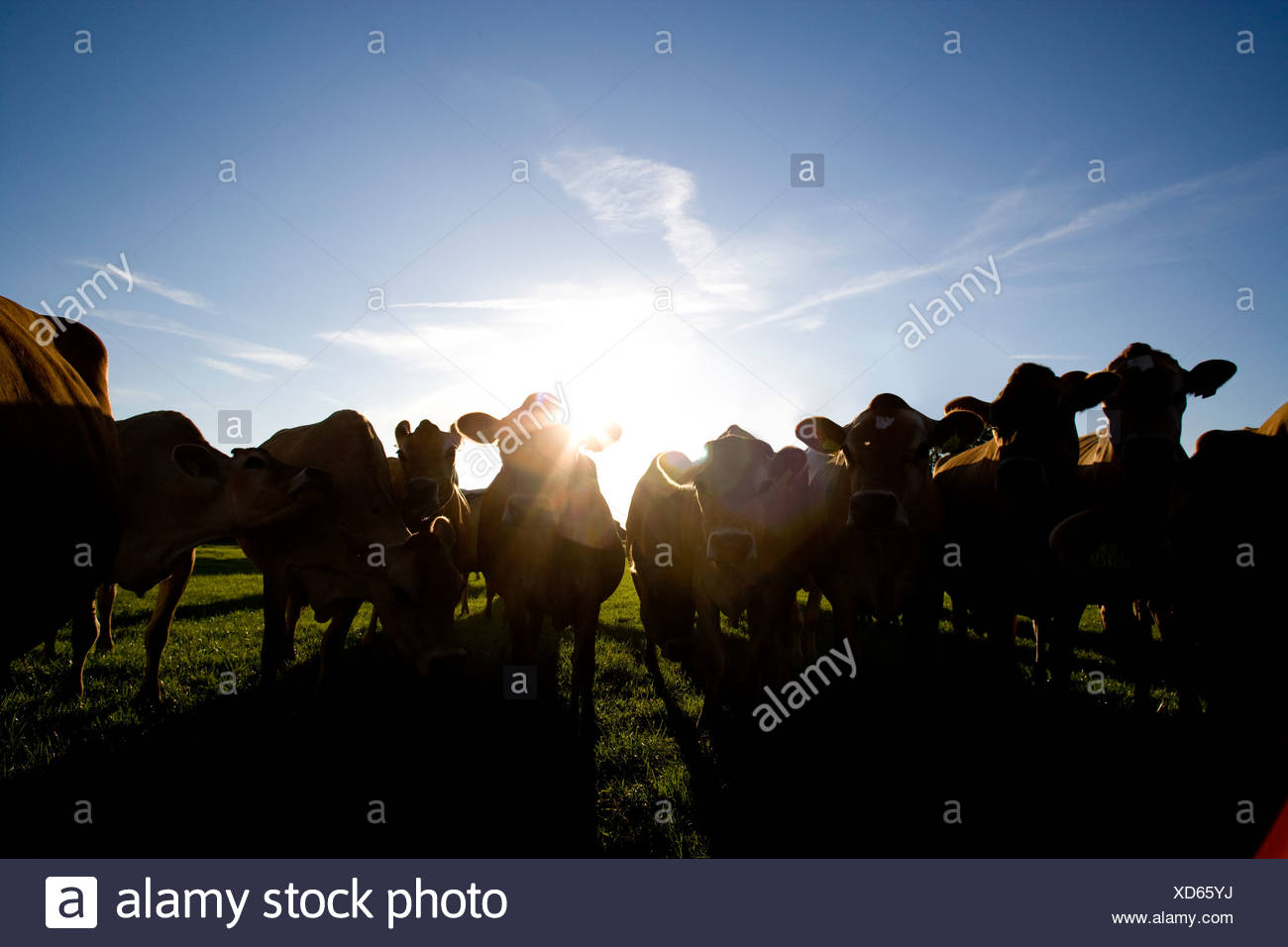 Sun shining behind silhouetted Jersey cows in field - Stock Image