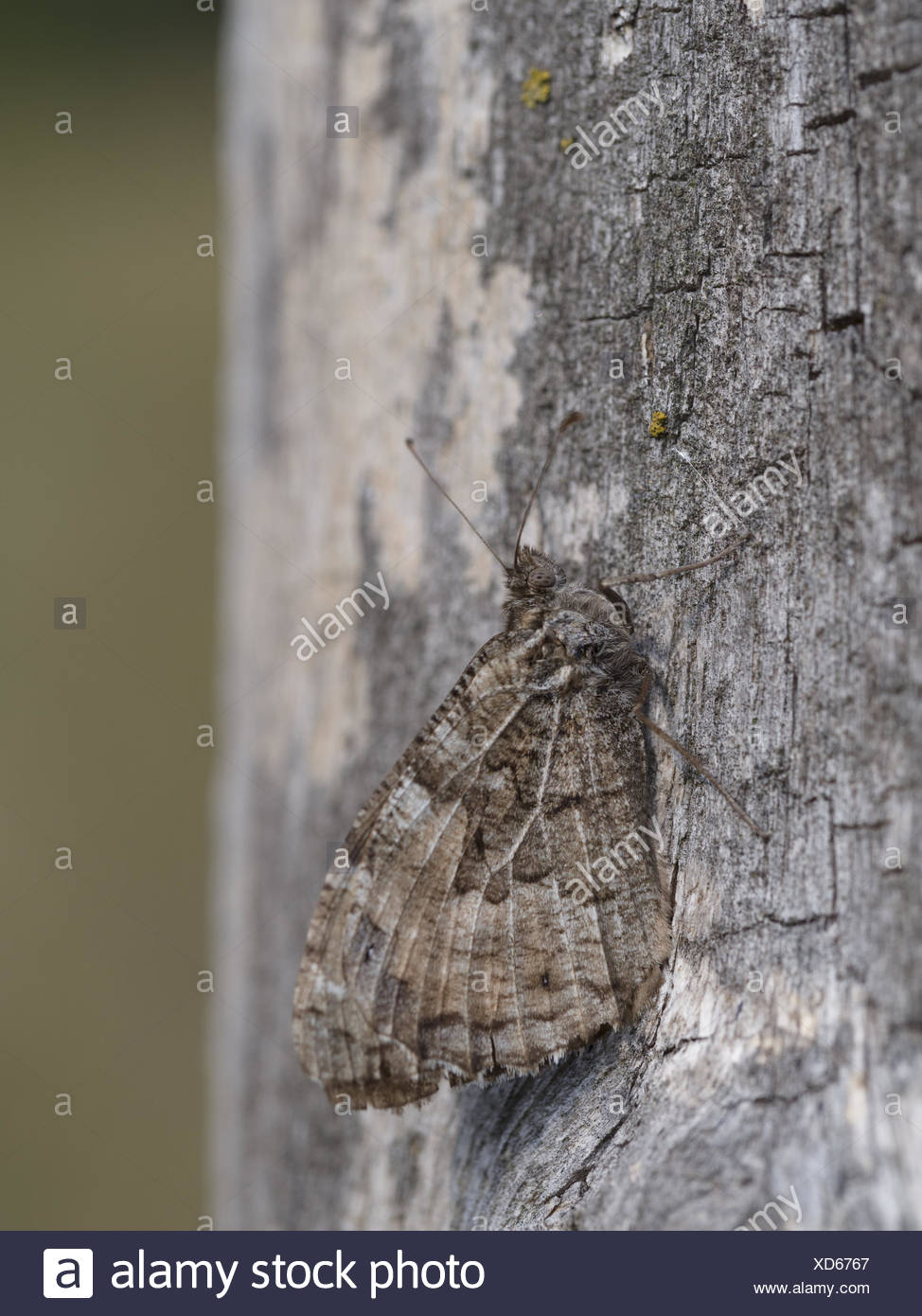 Grayling (Hipparchia semele) - Stock Image