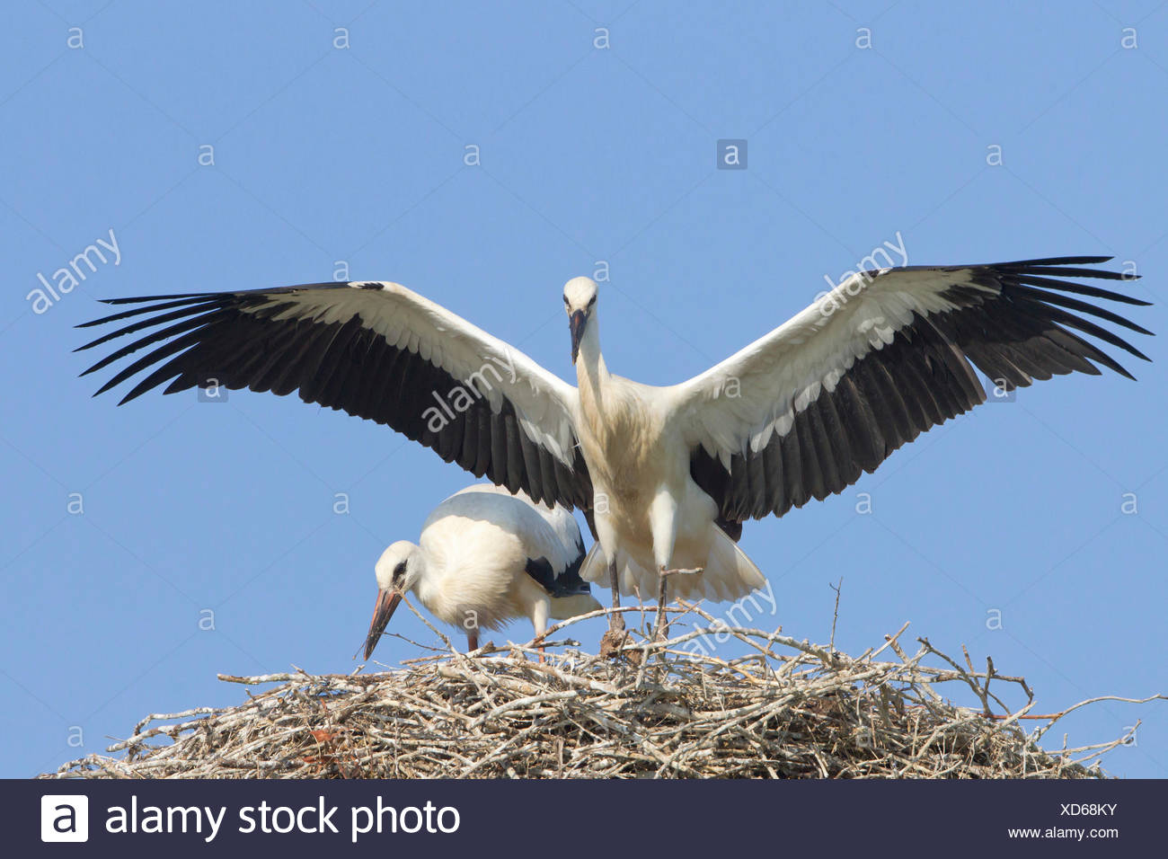 Young white storks (Ciconia ciconia), flying attempts at the nest, Hesse, Germany Stock Photo