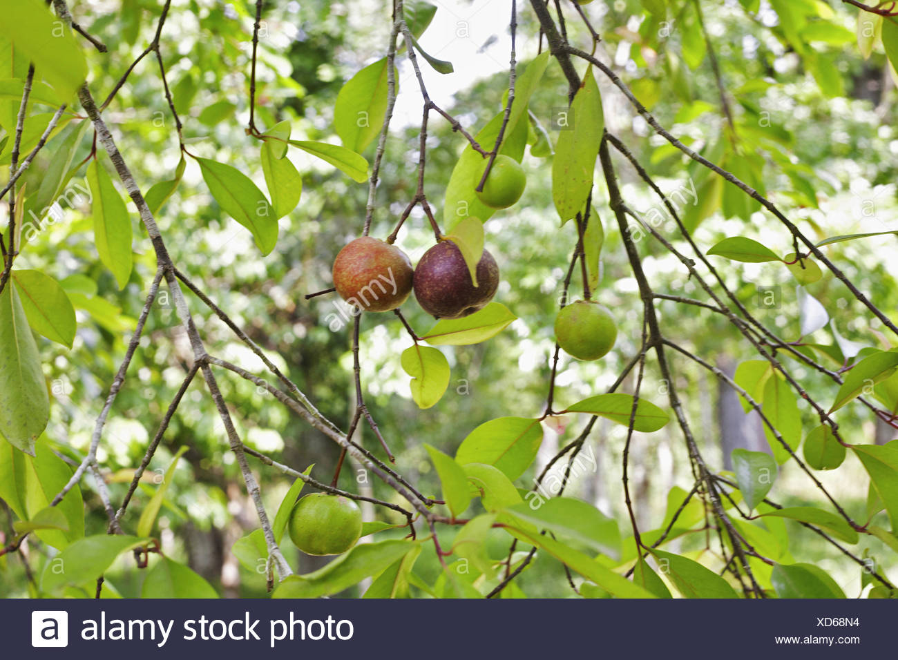 Garcinia High Resolution Stock Photography And Images Alamy