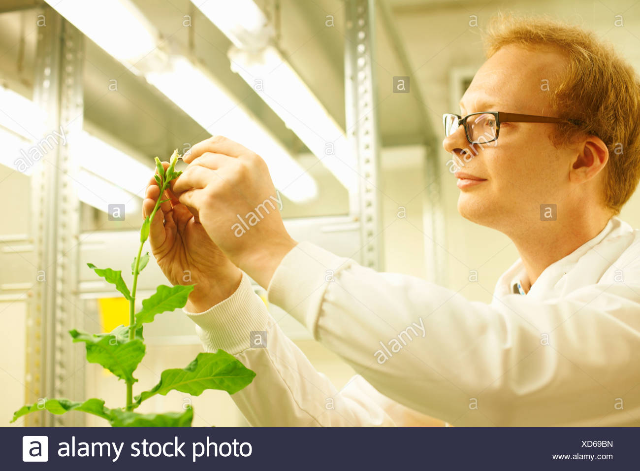 Male scientist picking sample from plant - Stock Image