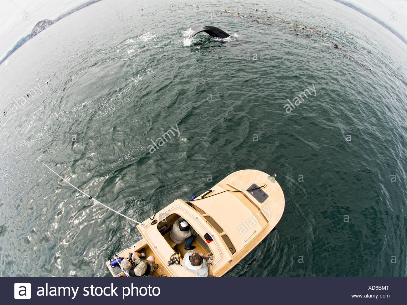 Humpback whales and sea lions feed together on anchovies. - Stock Image