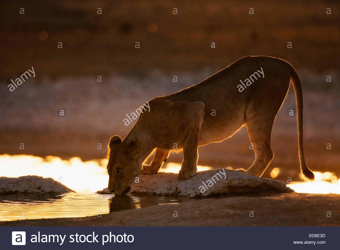 A lioness, Panthera leo, drinking at a waterhole at sunrise. - Stock Image