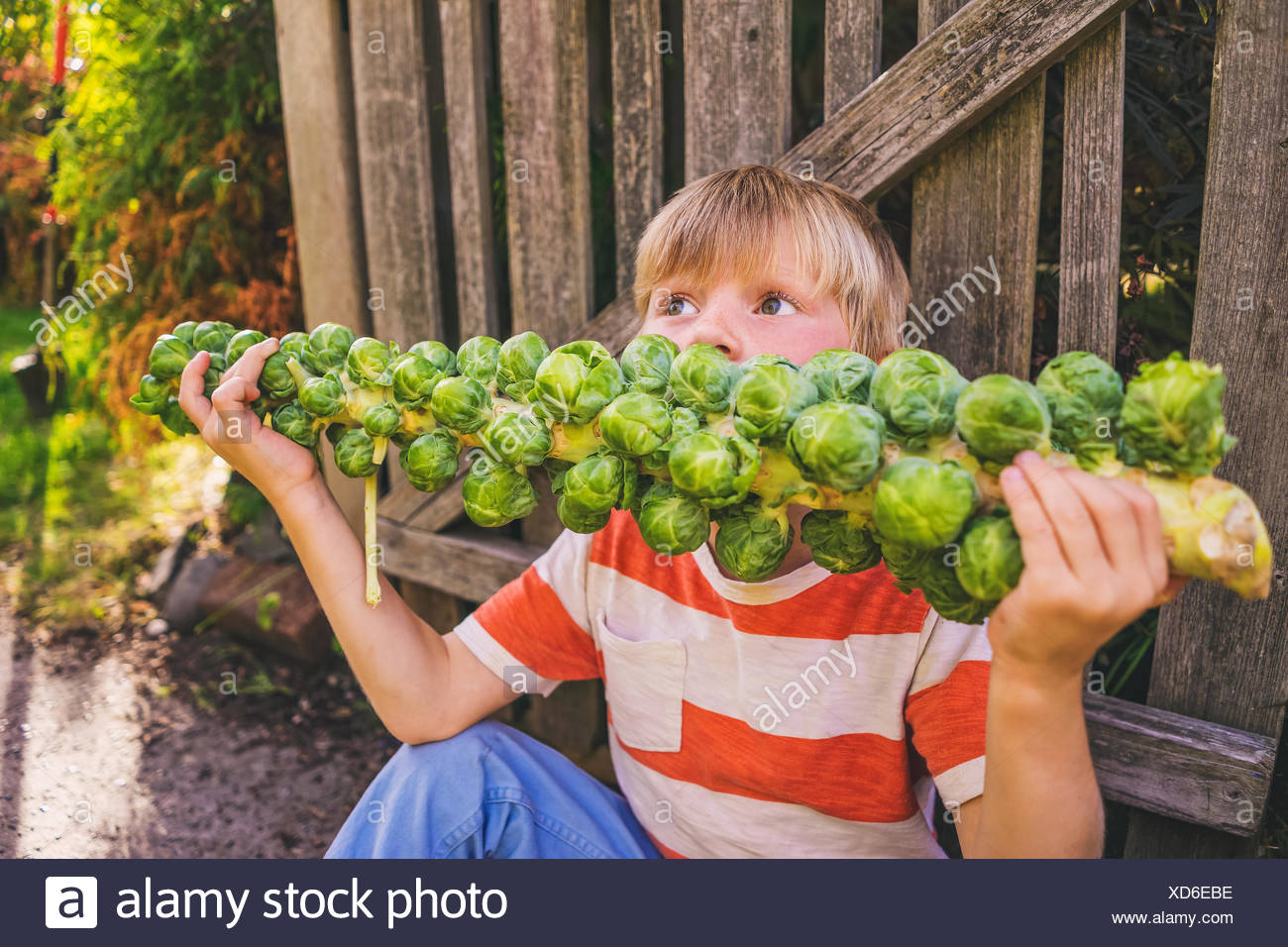 Boy eating a stalk of brussels sprouts - Stock Image