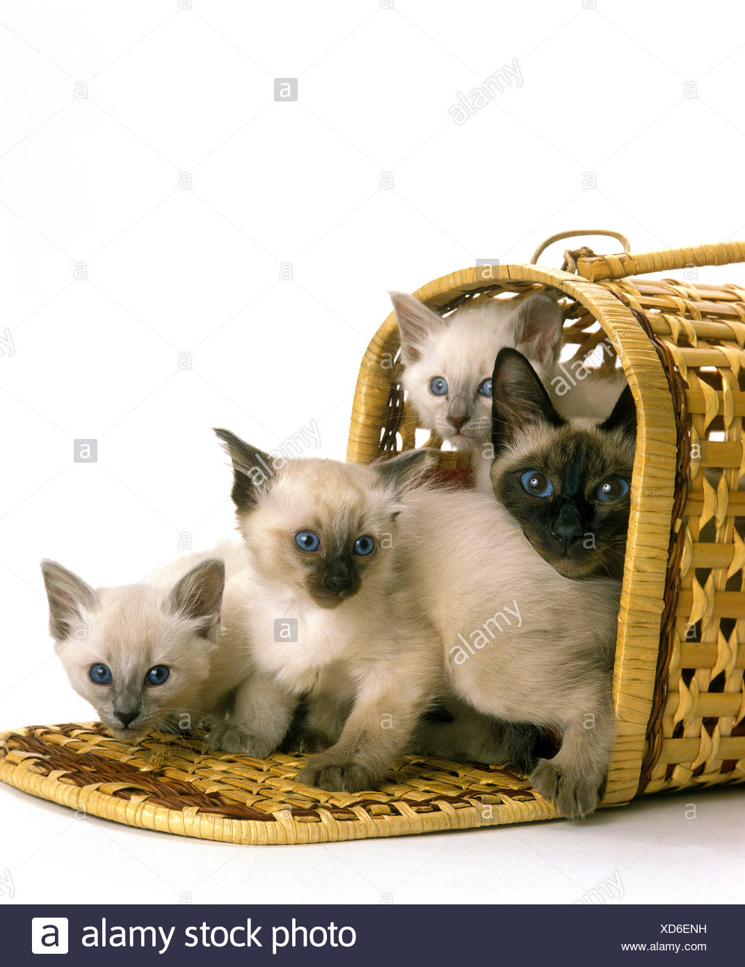 Balinese Domestic Cat Female With Kittens In Basket Against