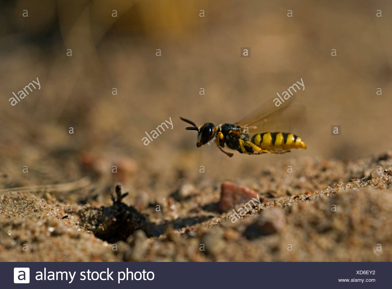 Scandinavia, Sweden, Oland, View of bee flying, close-up - Stock Image
