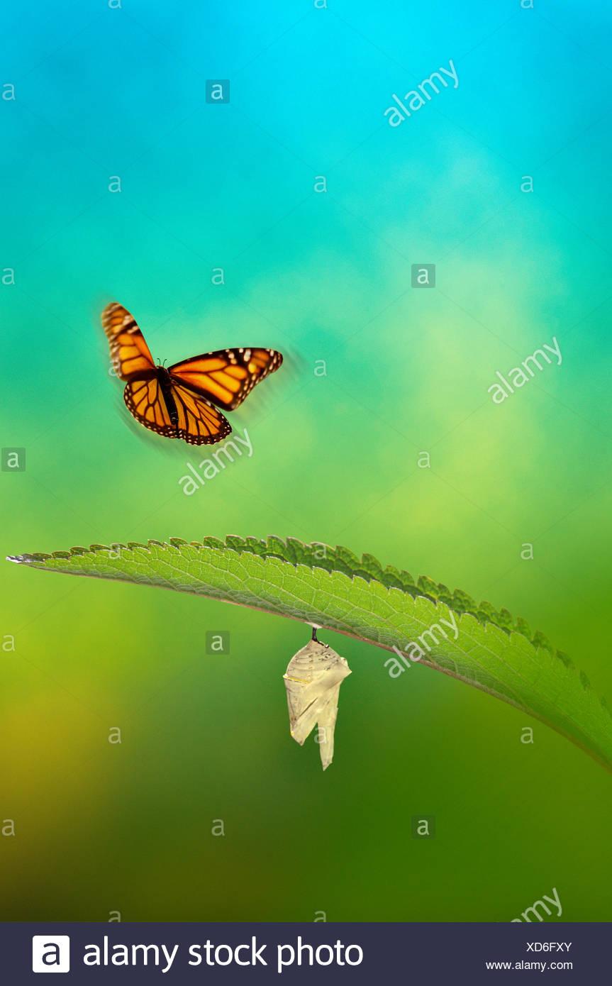 Monarch butterflies flying away - photo#33
