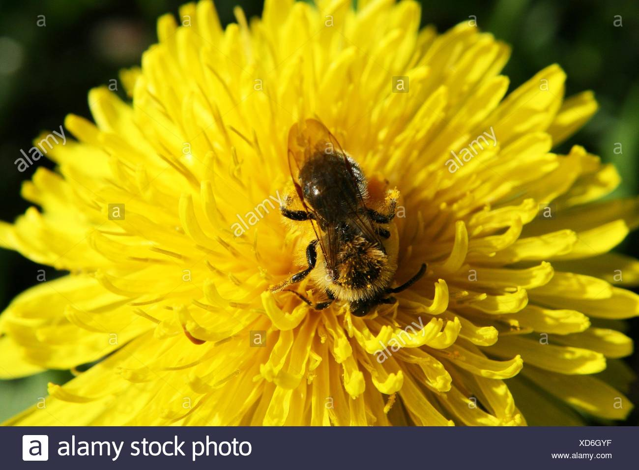 dandelion insect bee macro close-up macro admission close up view detail garden - Stock Image