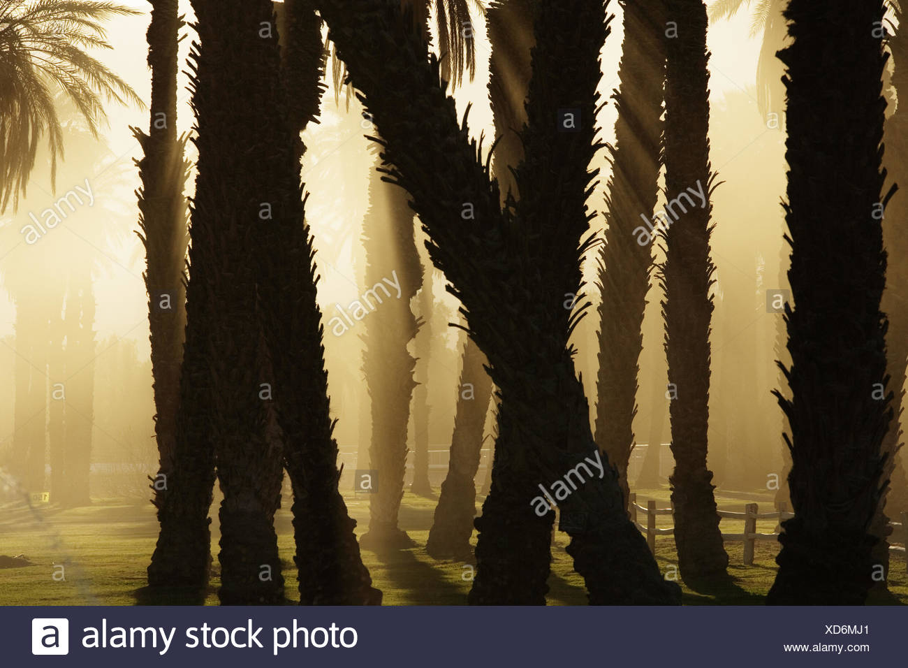 Filtered sunlight through a date grove in Death Valley National Park, California. - Stock Image