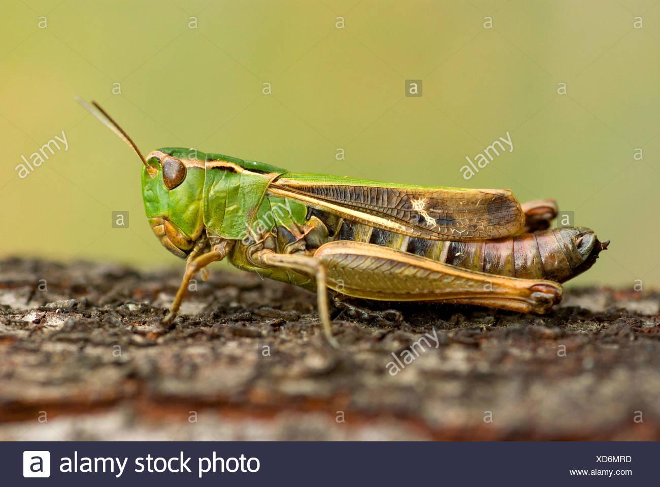 stripe-winged grasshopper, lined grasshopper (Stenobothrus lineatus), sitting on plant, Germany - Stock Image
