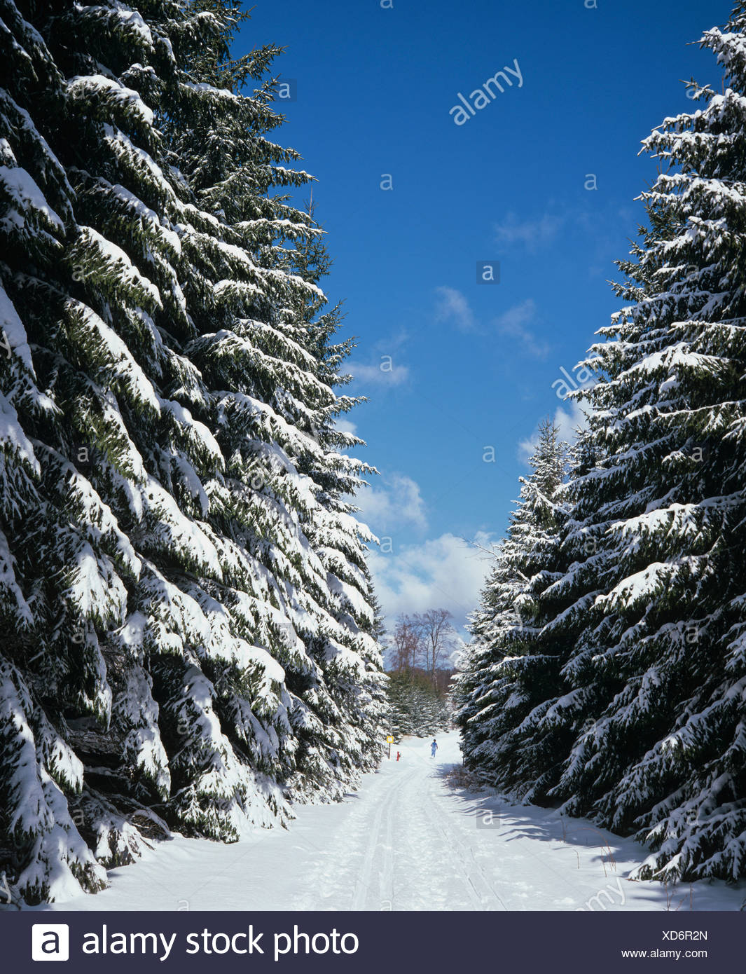 Fir trees, forest, snow-covered winter landscape, fresh snow, cross-country trails - Stock Image