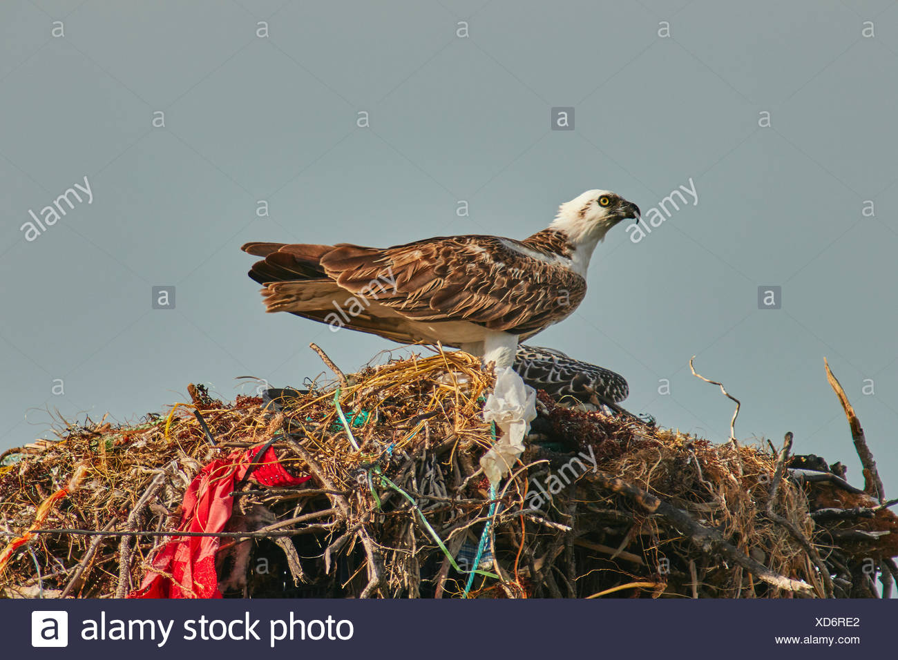 An adult Osprey, Pandion haliaetus, and its chick on a nest along the Providenciales coast. - Stock Image