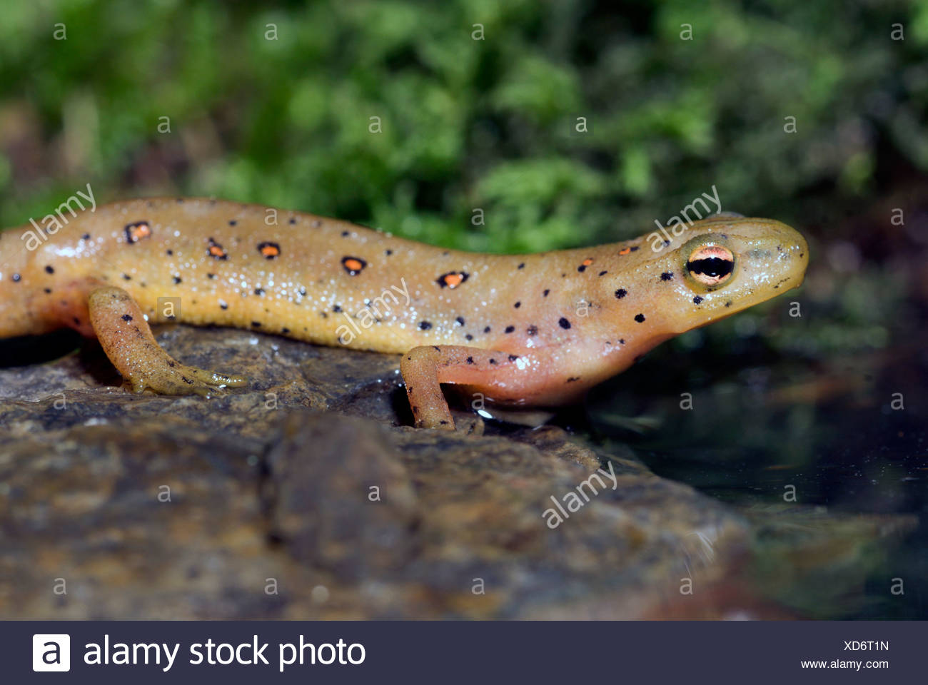 eft, red-spotted newt, red eft, eastern newt (Notophthalmus viridescens), on a stone Stock Photo