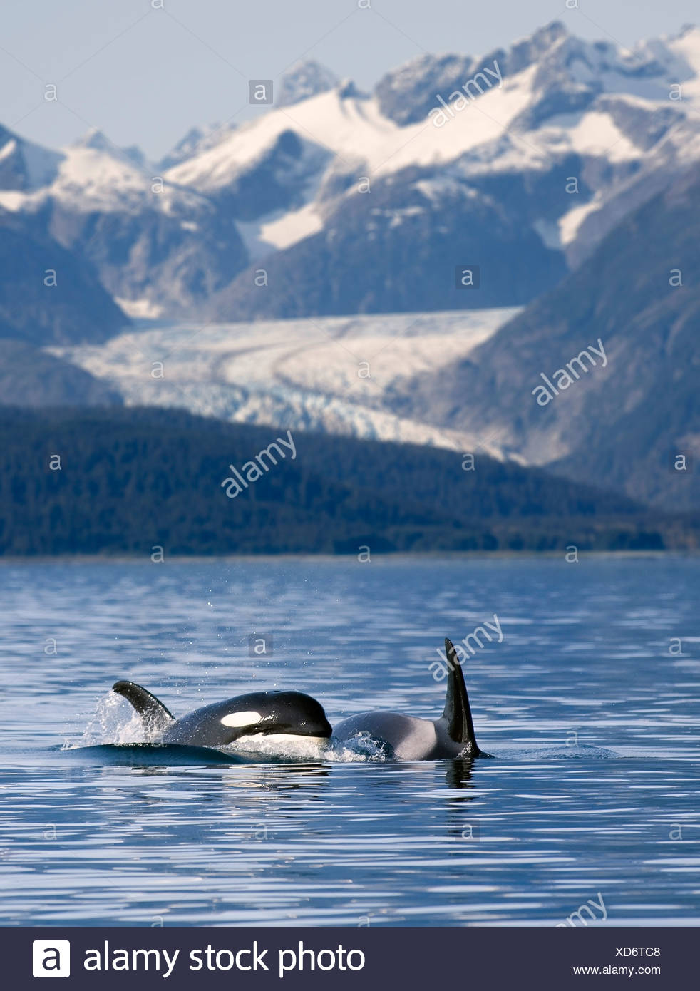 Pod of Orca whales surfacing in Favorite Passage of the Lynn Canal, Southeast Alaska - Stock Image
