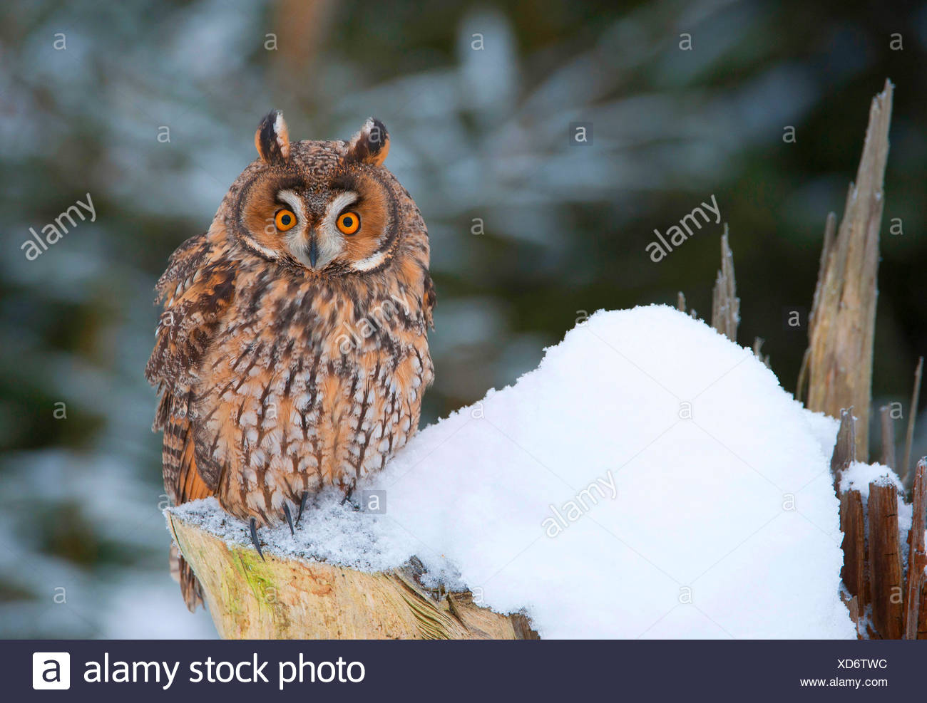 long-eared owl (Asio otus), sitting on a snow-covered tree stump, Germany, Bavaria Stock Photo