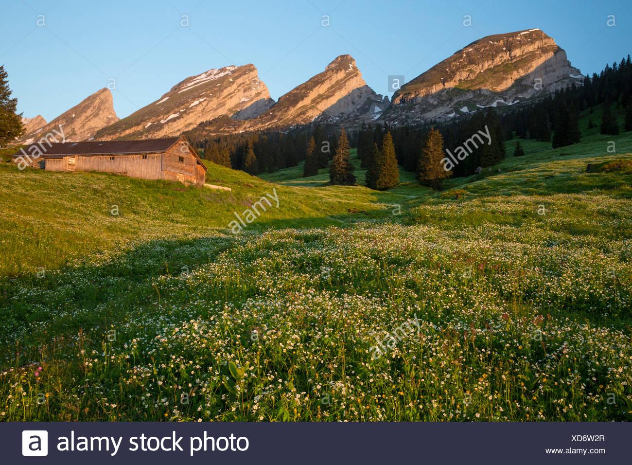 Churfirsten, Alp Sellamatt, Churfirsten, mountain, mountains, flower, flowers, SG, canton St. Gallen, Toggenburg, meadow, hut SA - Stock Image