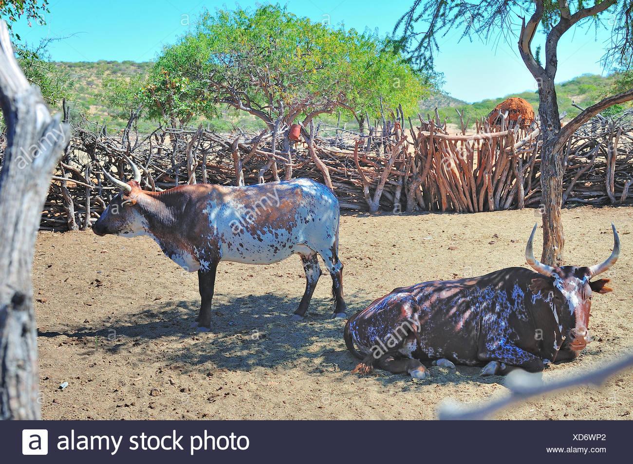Nguni cattle in an Ovahimba kraal - Stock Image