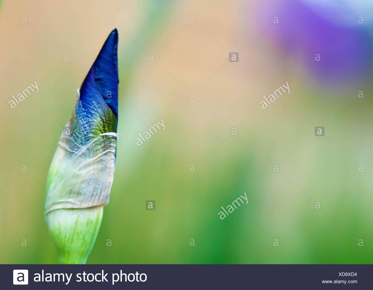 Close-up of Iris flower, Indiana, America, USA - Stock Image