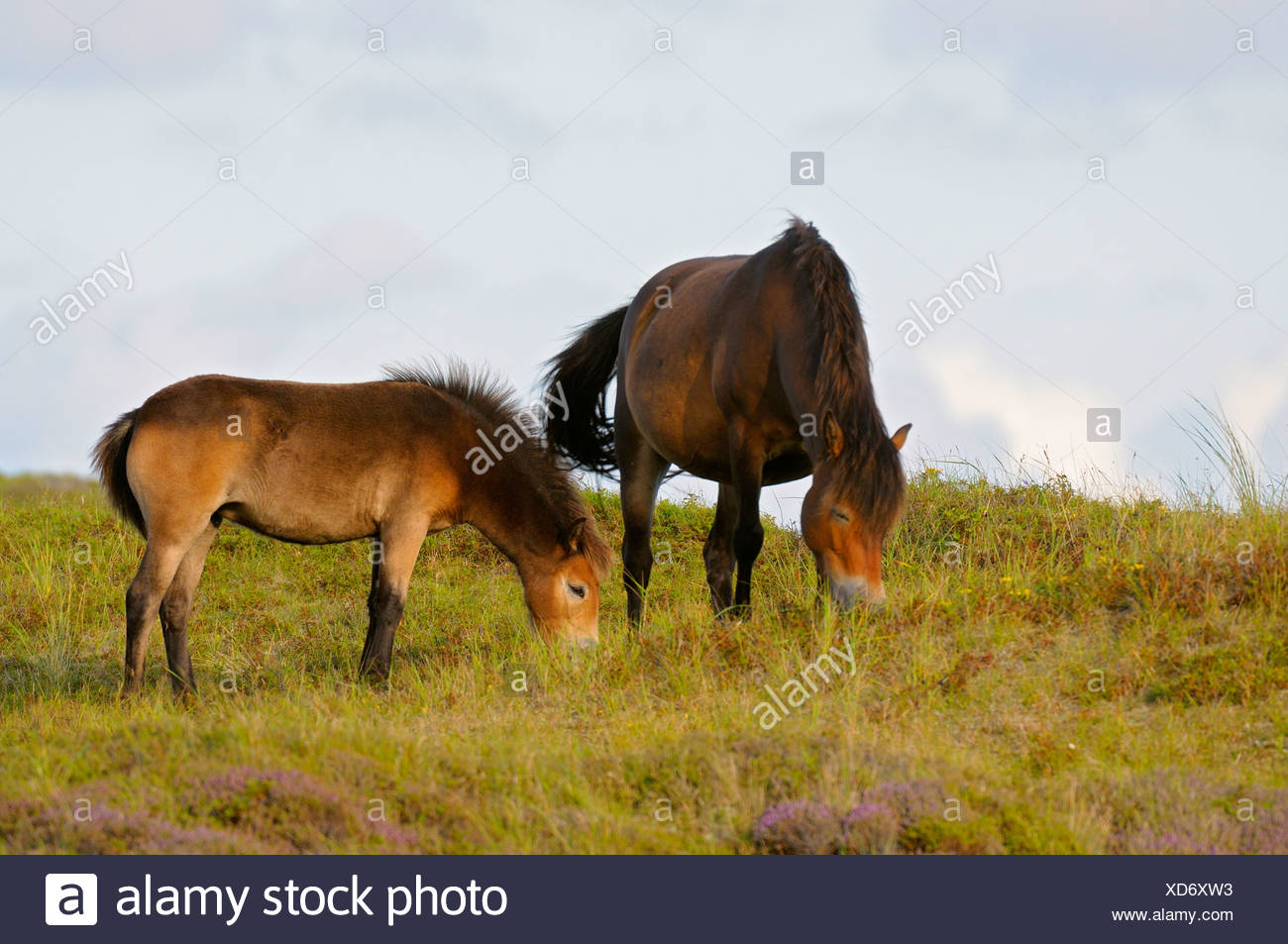 Exmoor pony (Equus przewalskii f. caballus), mare and foal grazing in meadow, Netherlands, Texel, Duenen von Texel Nationalpark - Stock Image