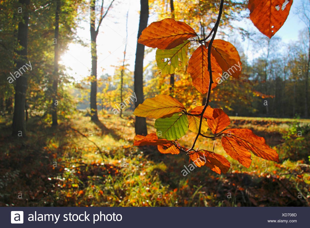 common beech (Fagus sylvatica), the sun shines through the leafs in an autumn coloured forest, Germany, Baden-Wuerttemberg, Ortenau - Stock Image