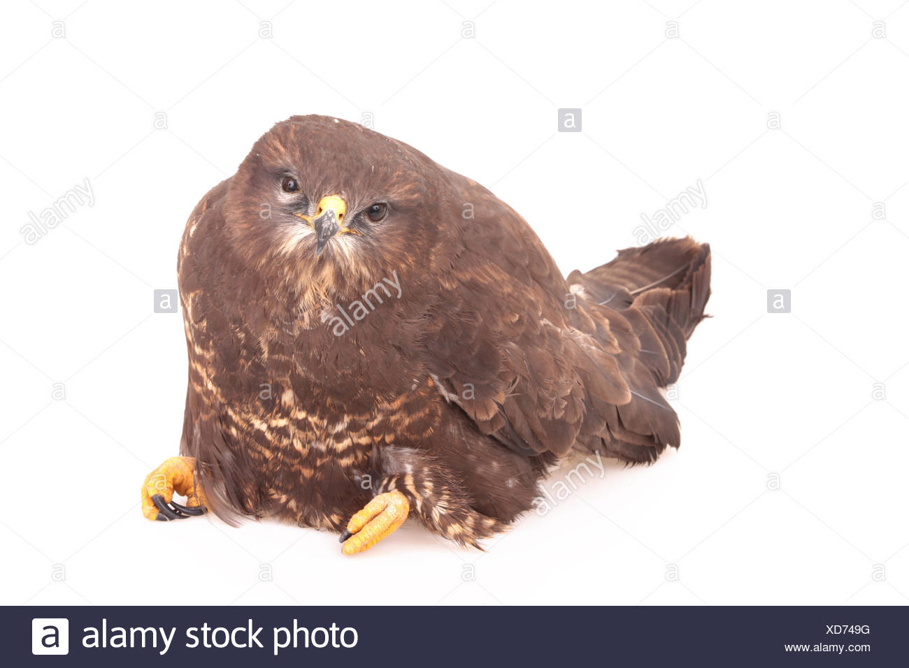 A common buzzard, Buteo buteo, found on a roadside, too weak to run away. It was caught and secured for the night, to be taken to a veterinarian the next day. Unfortunately it did not survive the night. - Stock Image