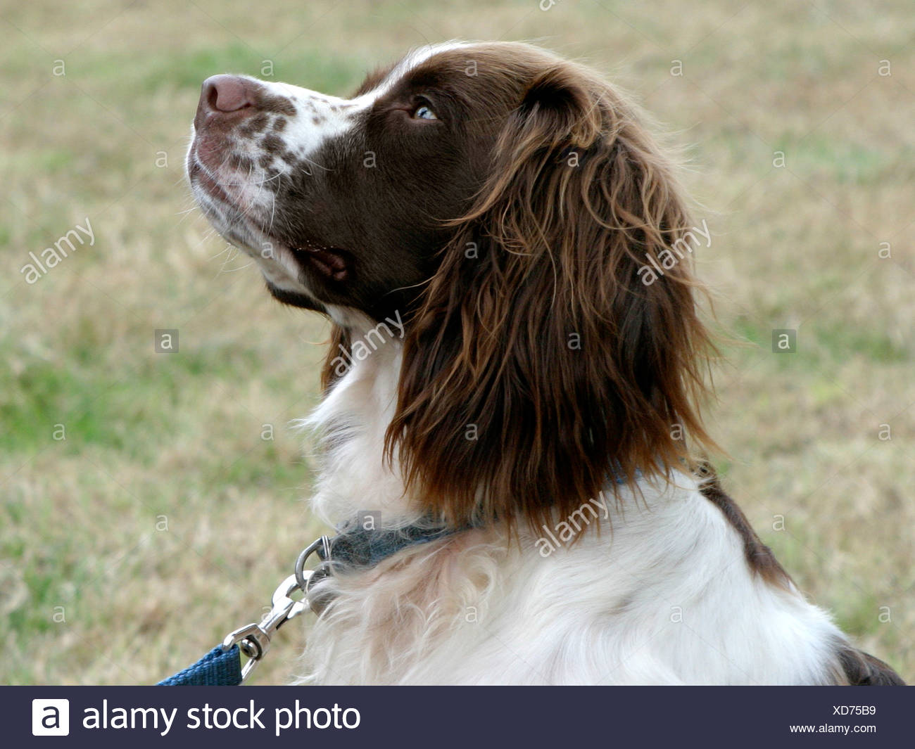 Springer spaniel looking upwards. - Stock Image