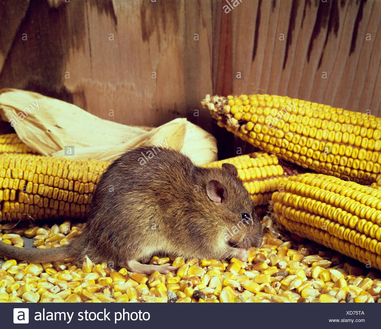 RAT - Stock Image