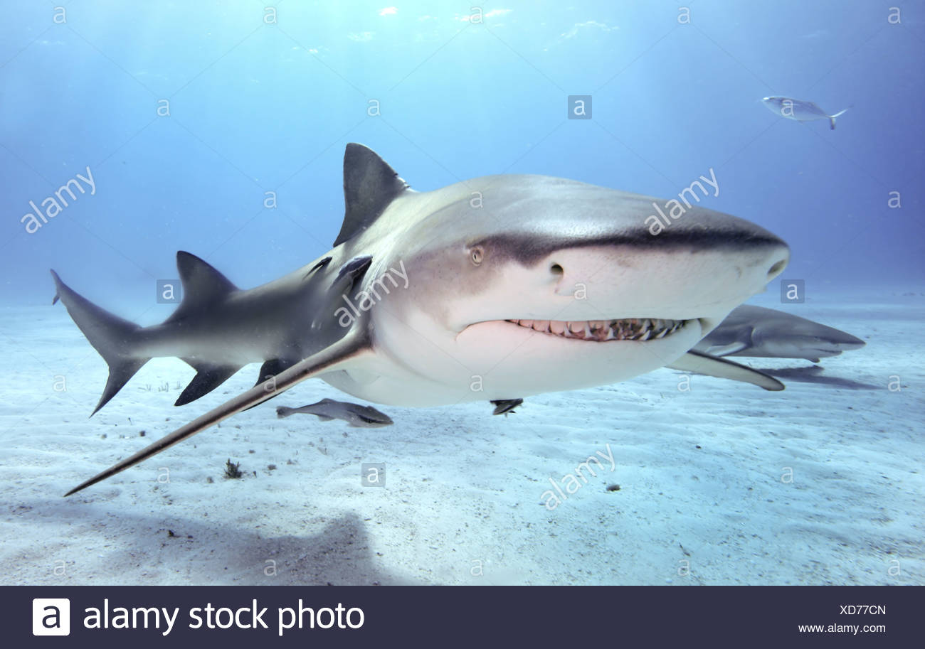 Caribbean reef shark, Bahamas. (Carcharhinus perezi) - Stock Image