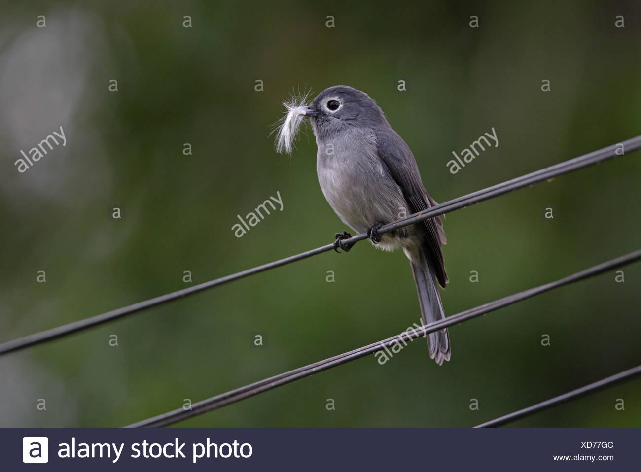 White eyed Slaty Flycatcher Melaenornis fischeri - Stock Image