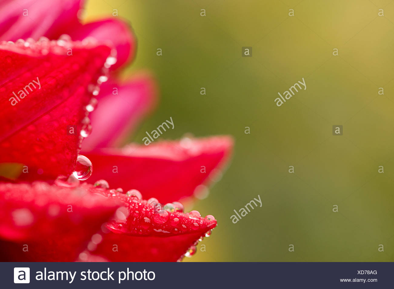 Flower with dewdrops - Stock Image