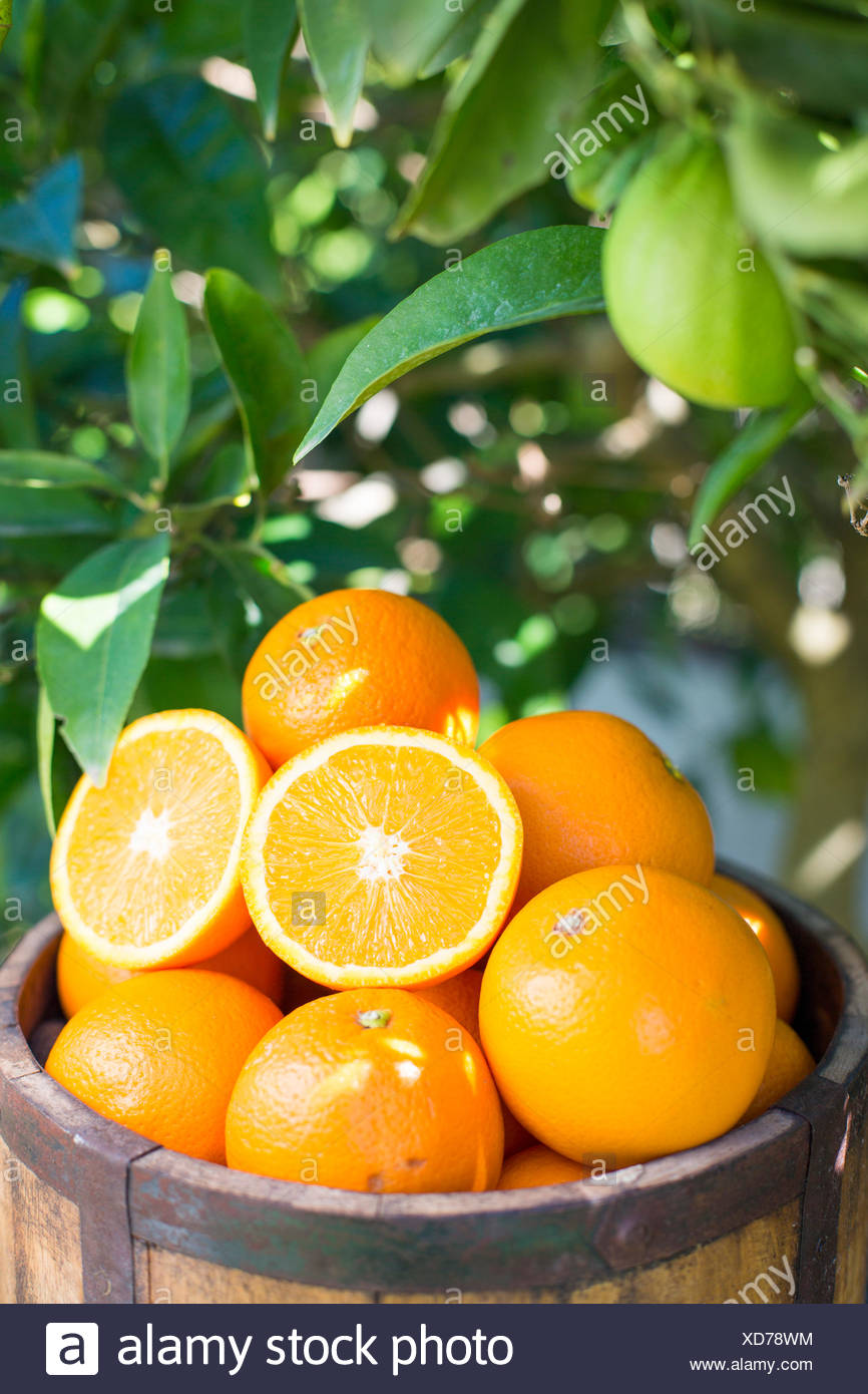 wooden bucket full of oranges against green foliage of an orange tree - Stock Image