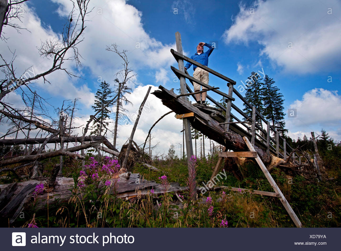 man on Kyrill path looking at storm losses, Germany, North Rhine-Westphalia, Sauerland, Schmallenberg - Stock Image