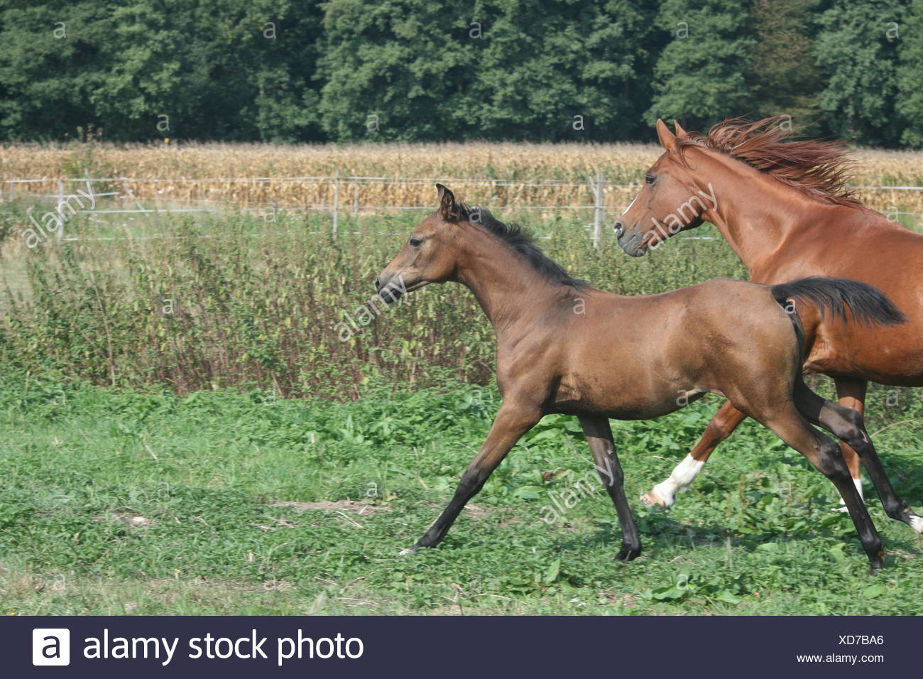 arabian mare and foal in gallop Stock Photo