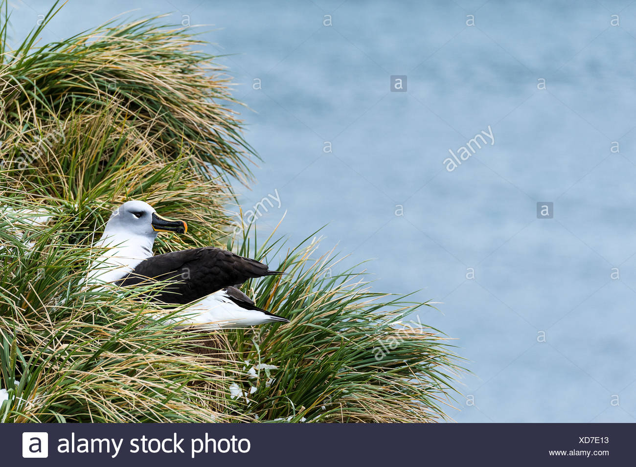 Black-browed albatross (Thalassarche melanophris) nesting; South Georgia, South Georgia and the South Sandwich Islands, United Kingdom - Stock Image