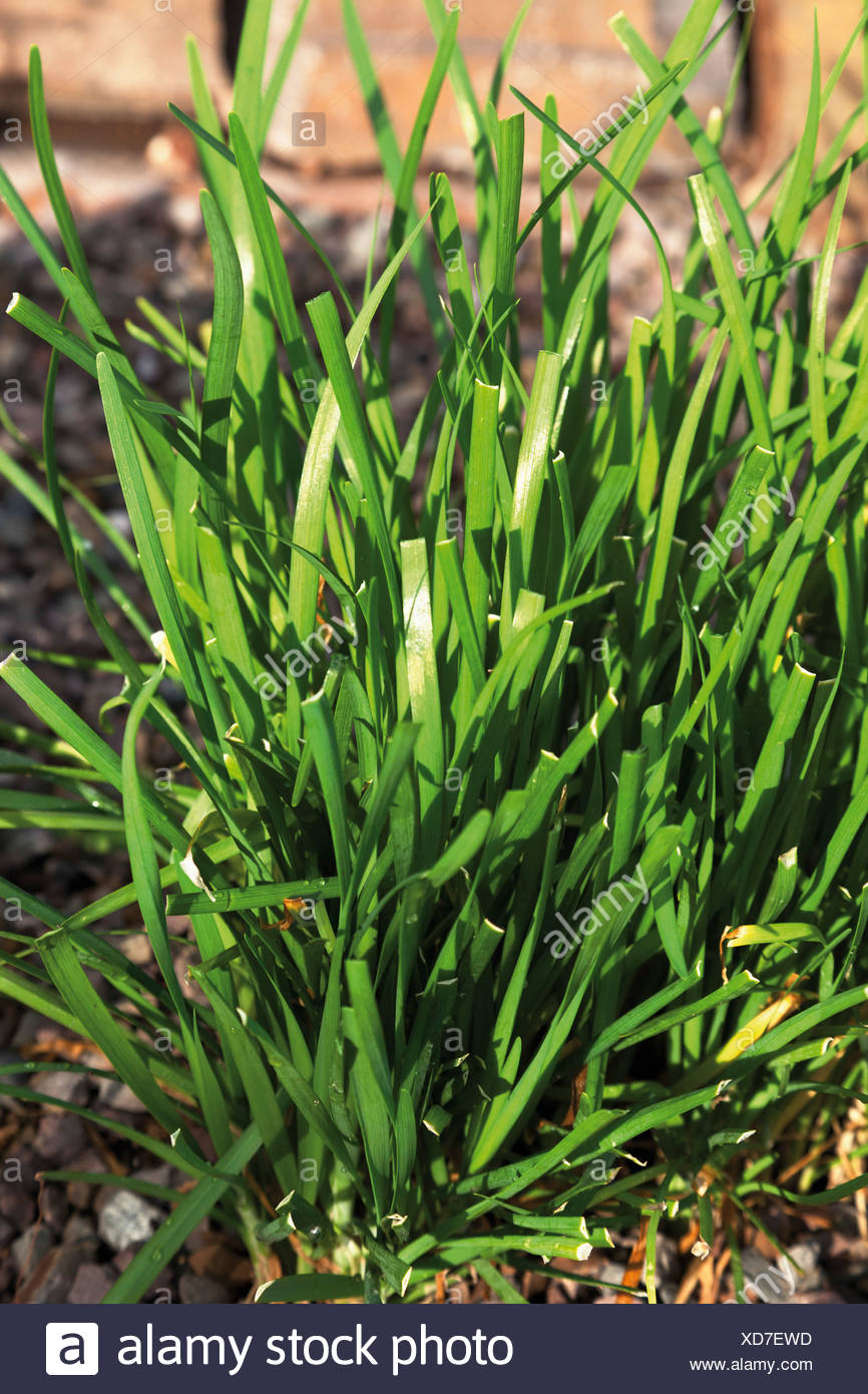 Germany, Close up of garlic chive plant - Stock Image