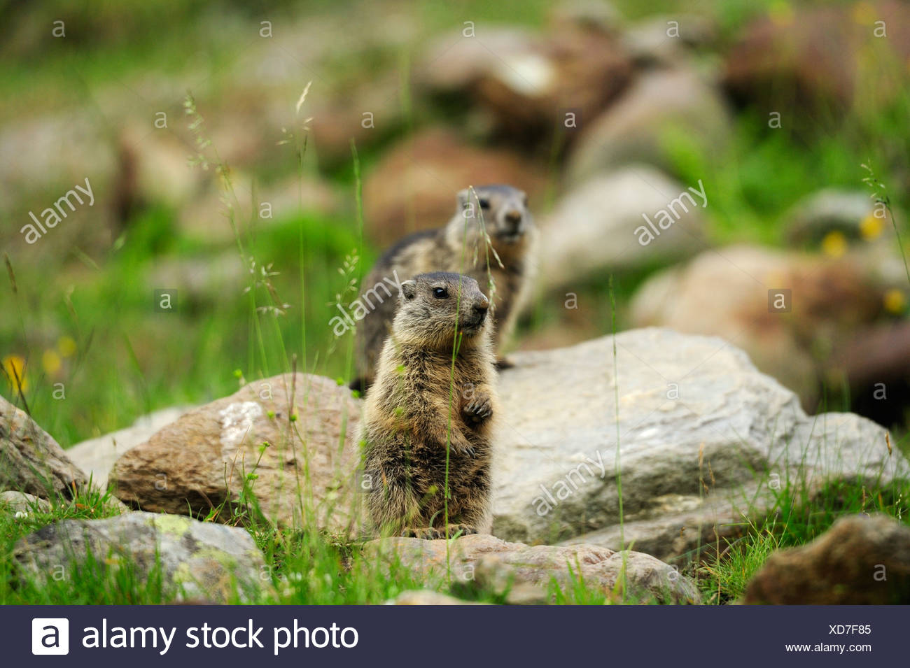Two Alpine marmots (Marmota marmota), Stubai, Stubai Alps, Tyrol, Austria - Stock Image