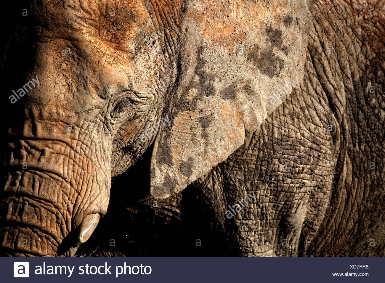 African elephant portrait, Cabarceno, Spain - Stock Image