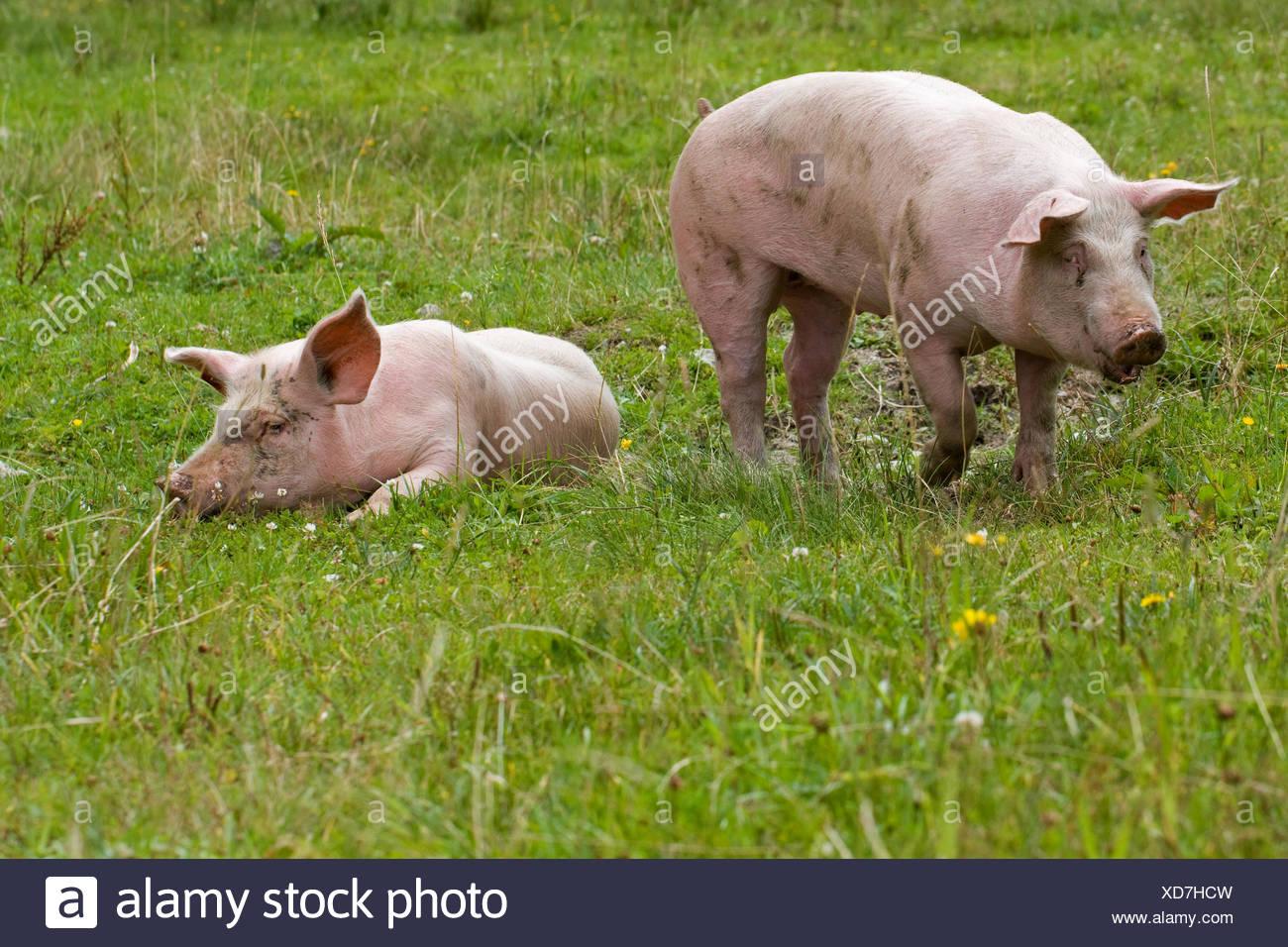 pigs - Stock Image