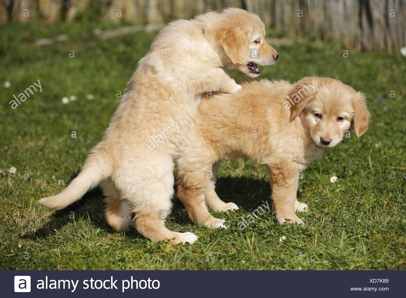 Hovawart Puppies Stock Photo Alamy