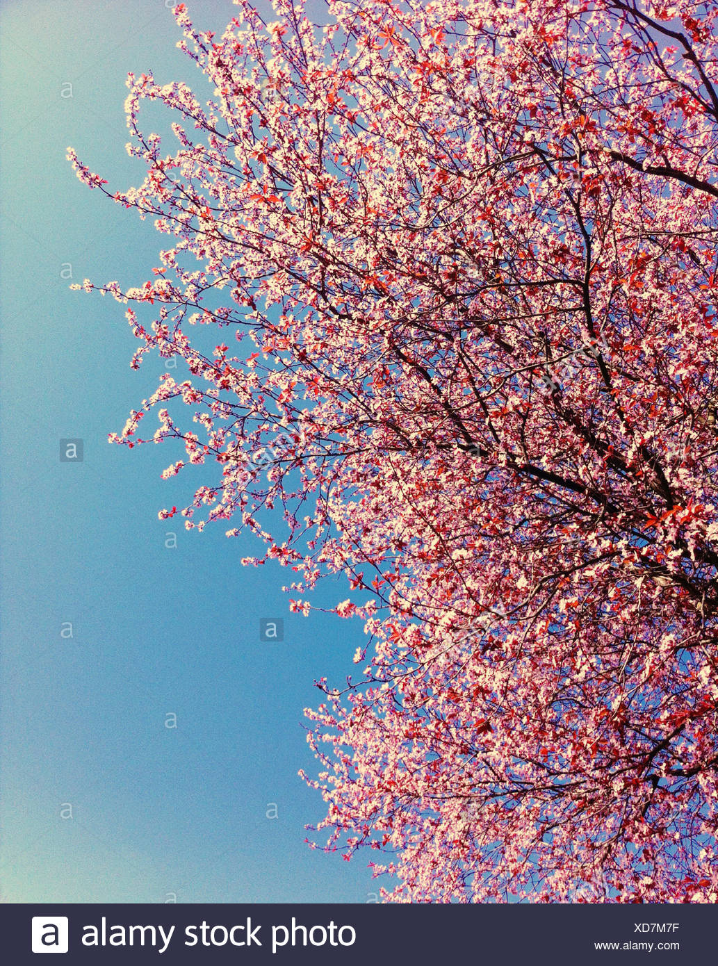 Pink cherry blossoms against blue sky, Vancouver, British Columbia, Canada - Stock Image