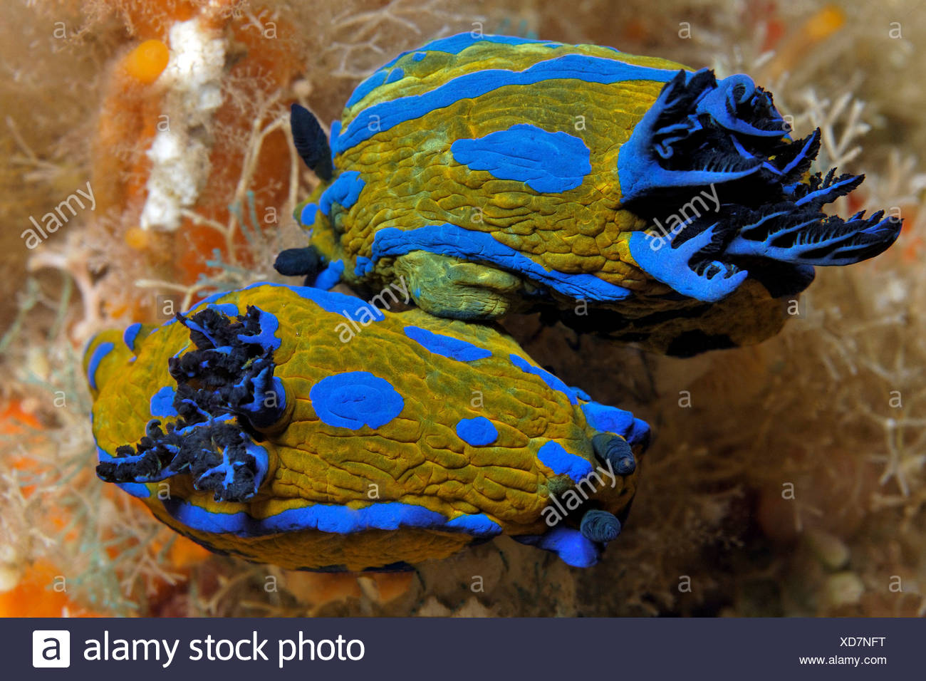 Two sea slugs (Tambja verconis) mating, North Island, New Zealand, Pacific Ocean, underwater shot - Stock Image
