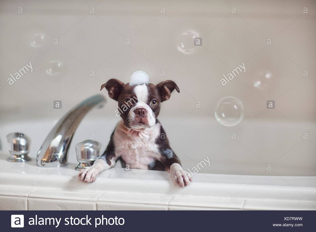 Boston Terrier puppy in bath with soap suds on head, looking at camera - Stock Image