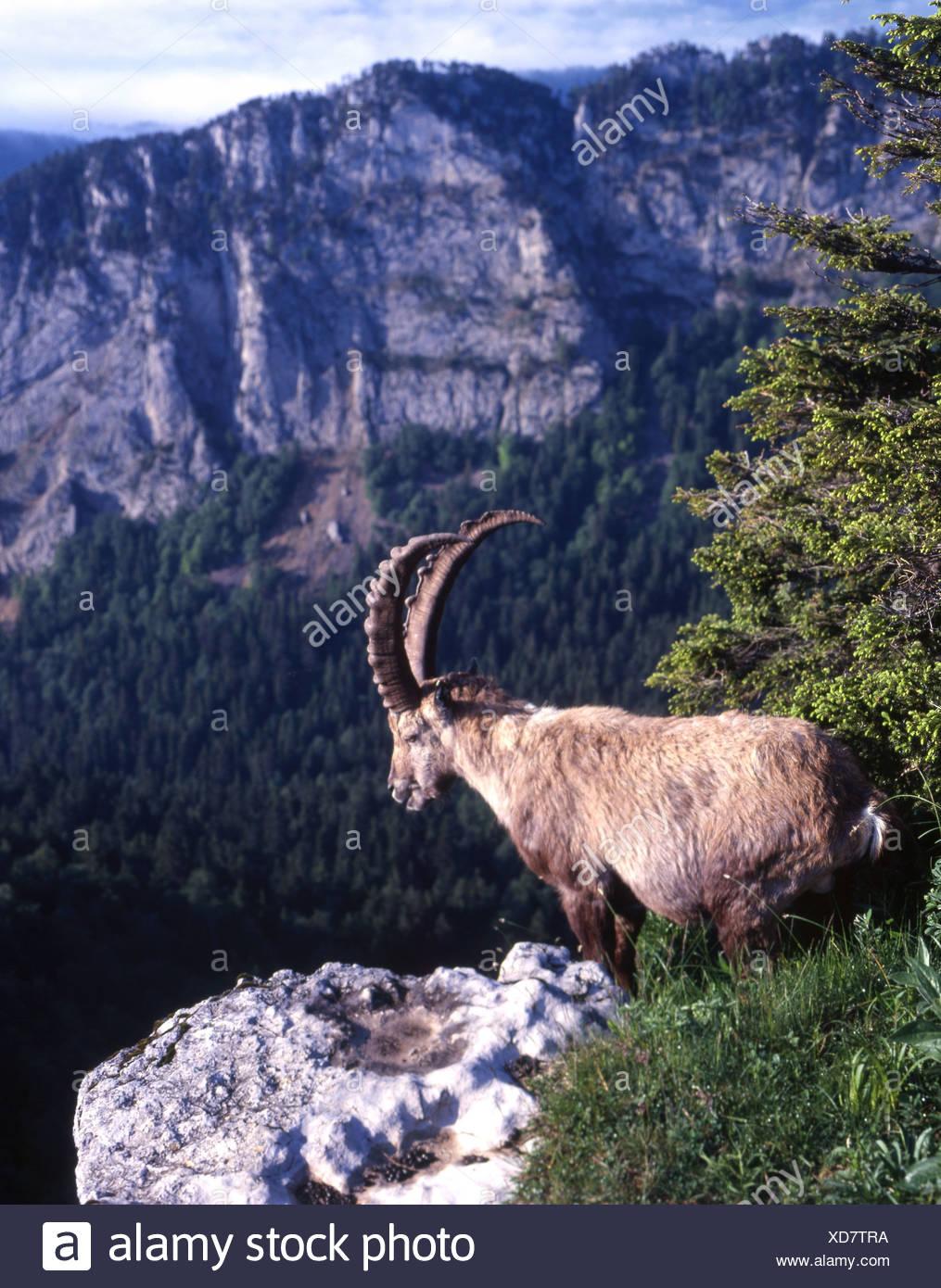 Capricorn ibex Creux du van canton Neuenburg Switzerland Europe - Stock Image