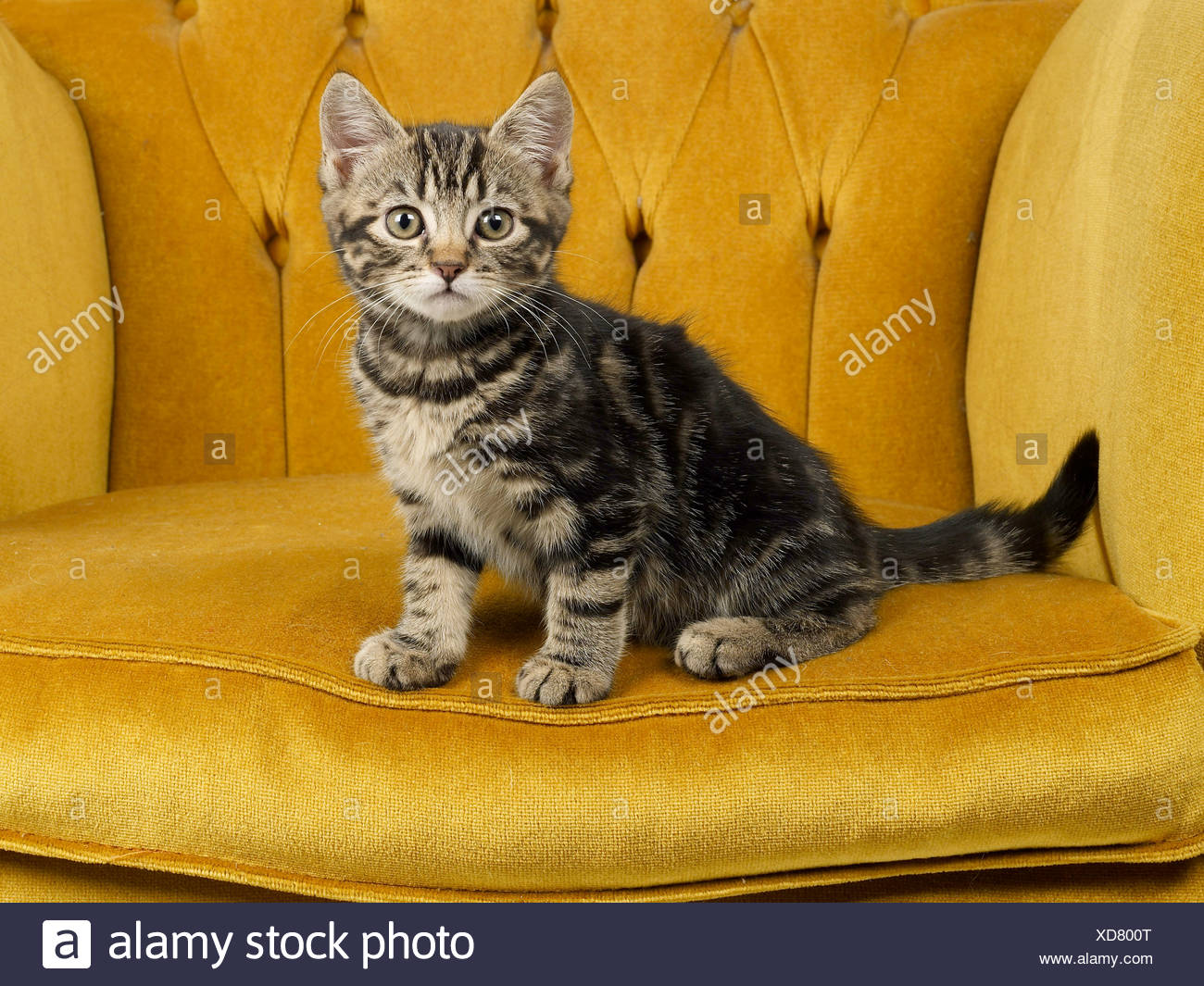 A small tabby kitten sitting on a posh chair. - Stock Image