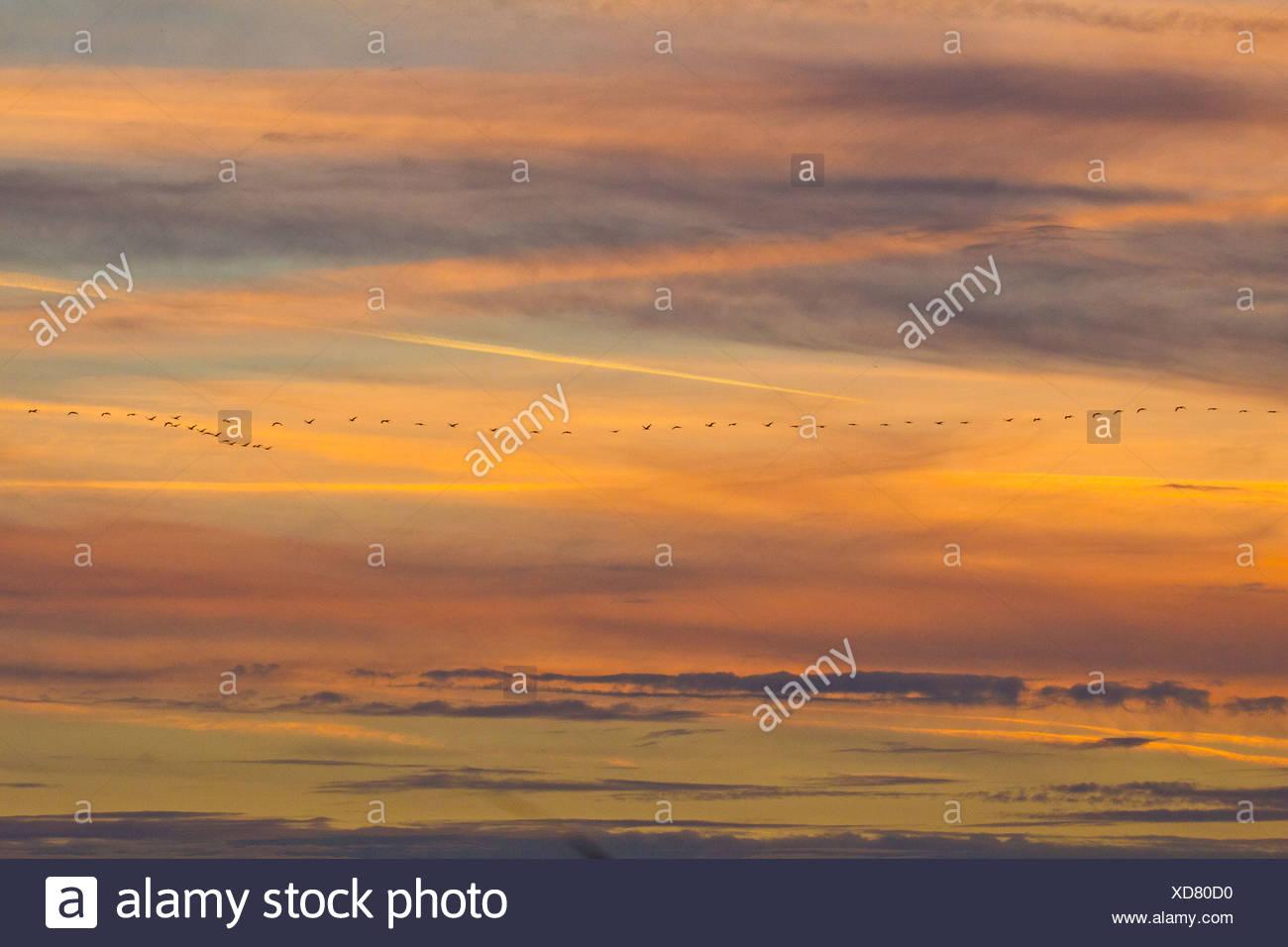 Bird migration of crane at sunset - Stock Image